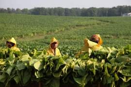 In this Thursday, Aug. 7, 2014, photo, farm workers, from left, Carlos Sanchez, Francisco Zuniga, and Alejandro Zuniga, pick tobacco leaves on Chris Haskins